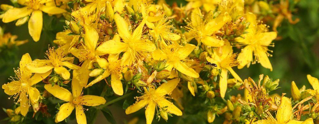 St. John's wort flowers
